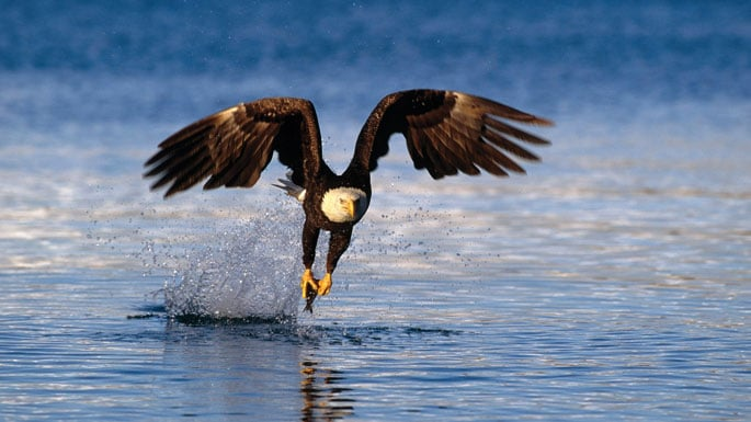 Alaska_wildlife_fishing_eagle